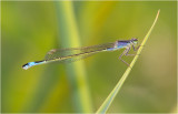 Blue-tailed Damselfly (female form violacea)