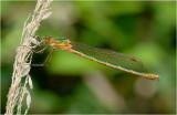 Emerald Damselfly (female)