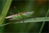 Long-winged Conehead (male)