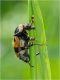 Common Sexton Beetle