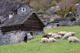 Sheeps of Sabbione