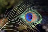 Peacock feather, Forêt de Finges