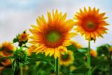The Amazing Sunflower