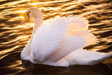Mute swan ... one of the Children of Lir?