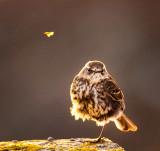 Bird with Attitude - Dunnock (Prunella modularis) juvenile