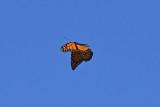 Monarch_in_flight_26_Sept_2019g.JPG