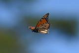 Monarch_in_flight_26_Sept_2019j.JPG
