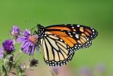 Monarch_2014a.jpg