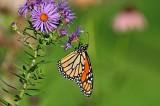 Monarch_2014b.jpg