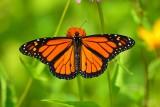 Monarch_butterfly_male_2017a.jpg
