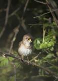Luscinia megarhynchos - Nightingale - Nachtegaal