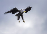 White-tailed eagle PSLR-4929