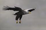 White-tailed eagle PSLR-4937