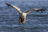 White-tailed eagle PSLR-5343