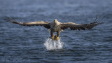 White-tailed eagle PSLR-5344.