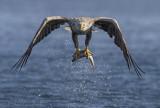 White-tailed eagle PSLR-5346