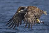 White-tailed eagle PSLR-5377