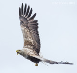 White-tailed eagle KPSLR-4837
