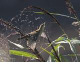 Acrocephalus schoenobaenus - Sedge warbler -Rietzanger