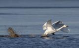 Kleine zwaan - Cygnus bewickii