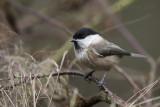 Poecile montanus - Willow tit - Matkop