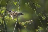 Acrocephalus scirpaceus - reed warbler - kleine karekiet