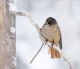 Perisoreus infaustus - Siberian jay - Taigagaai