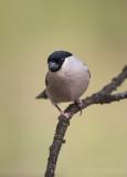 Pyrrhula pyrrhula - Bullfinch - Goudvink