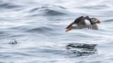 Fratercula arctica - Atlantic puffin - Papegaaiduiker