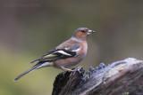 Fringilla coelebs - common Chaffinch - Vink
