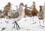 Bar-tailed godwit PSLR-9524