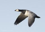 Branta leucopsis – Barnacle Goose - Brandgans