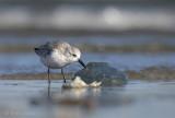 Calidris alba - sanderling - Drieteenstrandloper