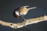 Poecile cinctus - Siberian Tit - Bruinkopmees
