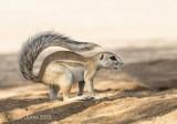 Cape ground squirrel PSLR-3135