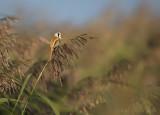 Panurus biarmicus - bearded reedling - baardman