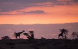 Giraffe  KPSLR-3088