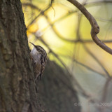 Certhia brachydactyla - Short-toed Treecreeper - Boomkruiper
