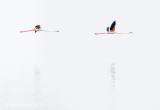 Greater flamingo PSLR-3380