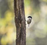 Poecile palustris - Marsh Tit - Glanskop