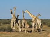 Giraffe PSLR-2977