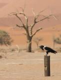 Pied crow - Schildraaf PSLR-3224