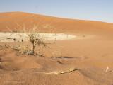 Anchieta's dune lizard  PSLR-3205