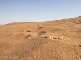 Anchieta's dune lizard  PSLR-3213