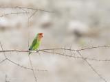Rosy-faced lovebird PSLR-3240