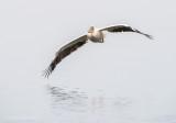 Great white pelican PSLR-3367