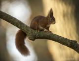 Red squirrel - Rode eekhoorn PSLRT-5614