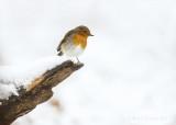 European robin - roodborst PSLRT-6108