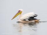 Great white pelican PSLR-3373