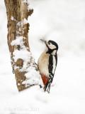 Great spotted woodpecker - Grote bonte specht KPSLRT-6033